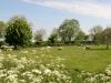 schapen-aan-de-rietdijk