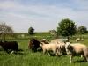 schapen-in-de-wei